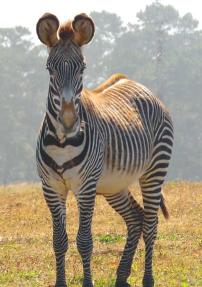 zebra-02-sm