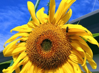 bee n sun flower-01 24x BY CHARLEBOIS