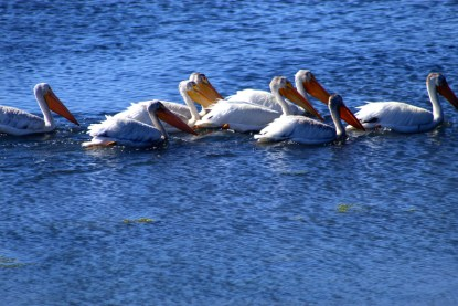 pelicans-02 12x BY CHARLEBOIS