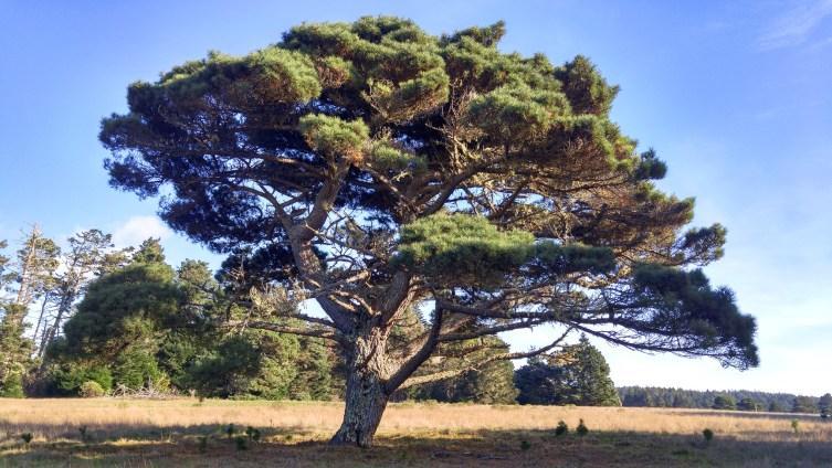 cr arianas tree-01 24x BY CHARLEBOIS