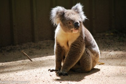 A koala with its eyes open!