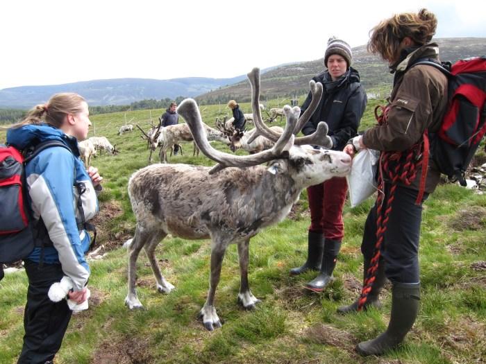 reindeer trekking