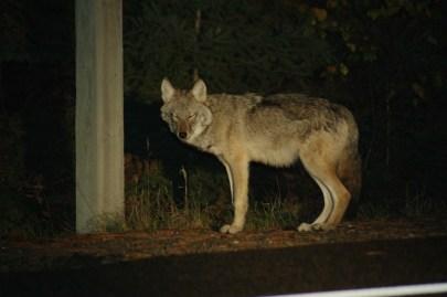 Wolf Mama
