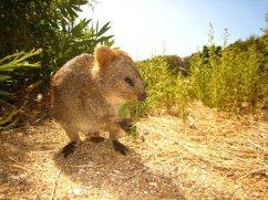 Too Cute! A Rottnest Quokka
