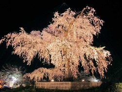 Giant weeping cherry tree in Maruyama Park