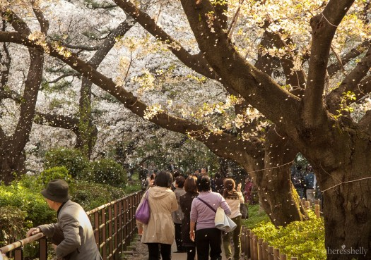 japan-cherry-blossoms-sakura-3704