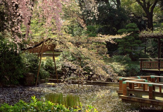 japan-cherry-blossoms-sakura-3844