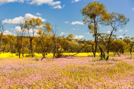 coalseam-wildlflowers-everlastings
