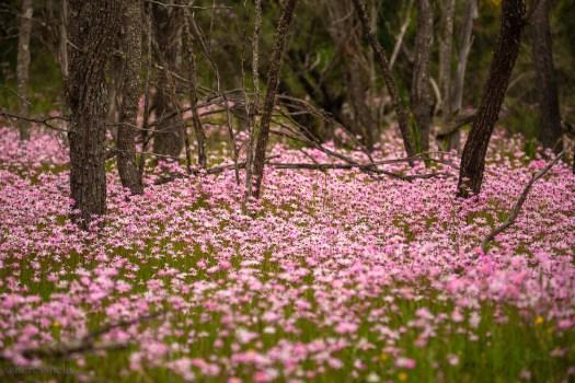 coalseam-depot-hill-wildflowers-everlastings