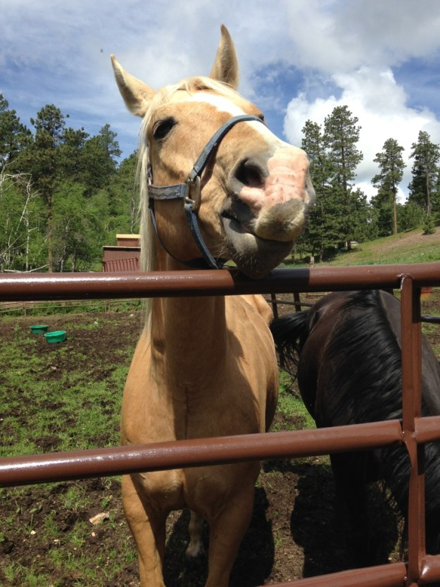 This is the famous Bachelor Horse, the biggest celebrity in Deadwood.