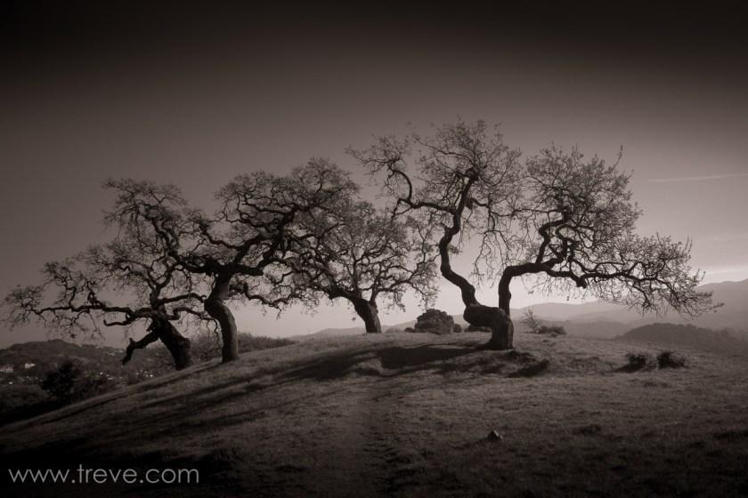 Oak Trees on Mount Burdell