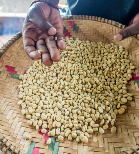 Raw coffee beans. Chagga Culture and Coffee
