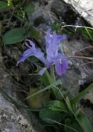 bulbous-iris-sp-near-el-burgo