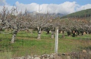 fig-orchard