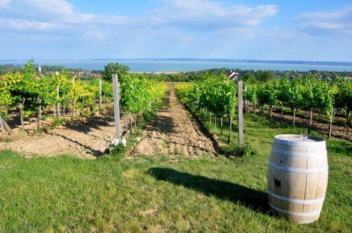 wine tasting lake balaton :homola borteraz
