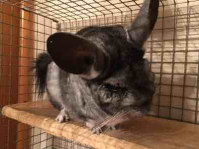Barney the Chinchilla in Bracknell