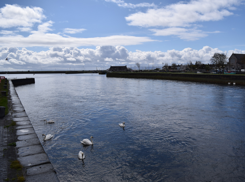 Swans-in-Galway-Bay-Ireland