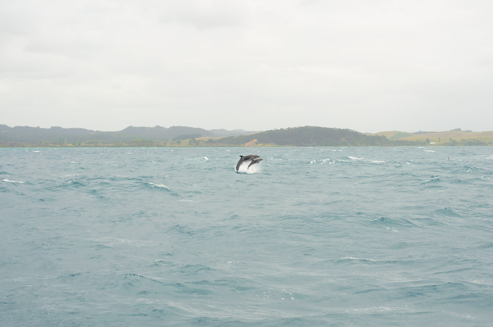 Dolphin watching in the Bay of Islands is one of the best things to do in Northland New Zealand