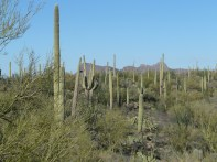 Saguaro National Park, 143 square miles of more than a few saguaro cactuses