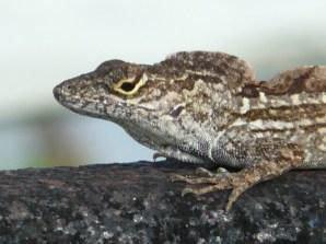 Gecko, Long Key FL