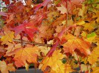 Autumn color, Olympia WA