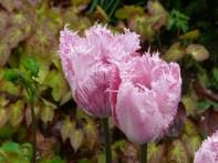 tulipmania 141