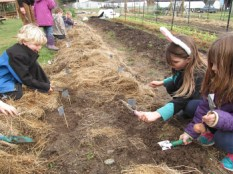 first grade planting potatoes wireworm traps_3098