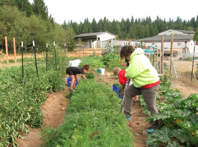 carrot digging 2015