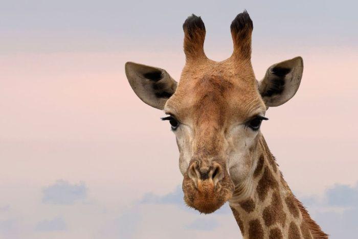 giraffe is western corridor serengeti.whileinafrica