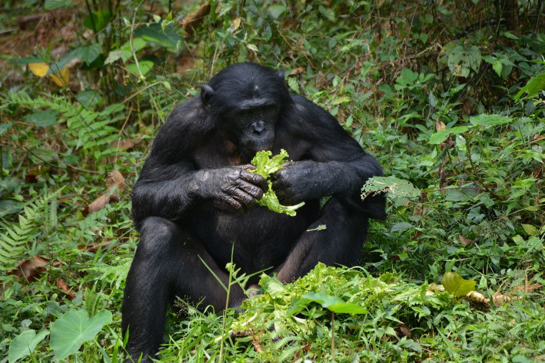 Bonobo Ape from Congo-whileinafrica
