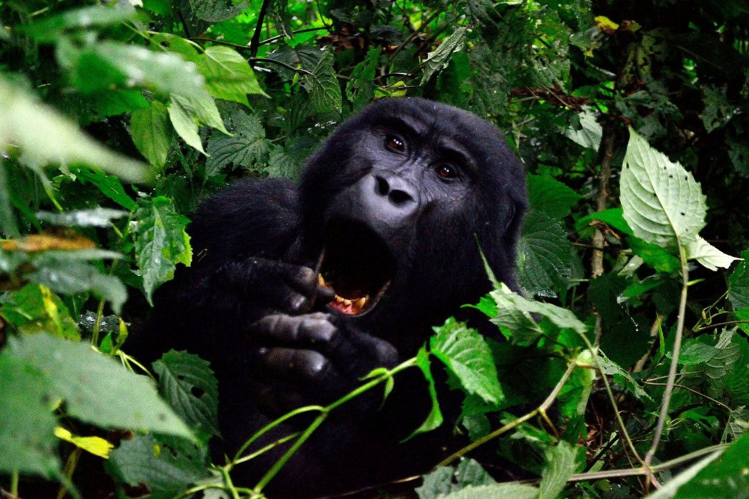 Mountain Gorilla Tanzania - whileinafrica