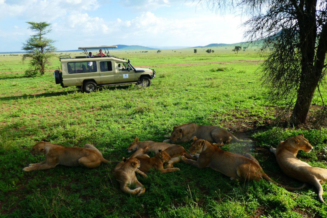 Resting lions in Serengeti - whileinafrica