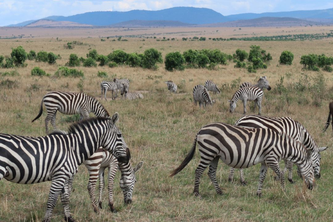 Zebras in Ngorongoro Conservation Area - whileinafrica