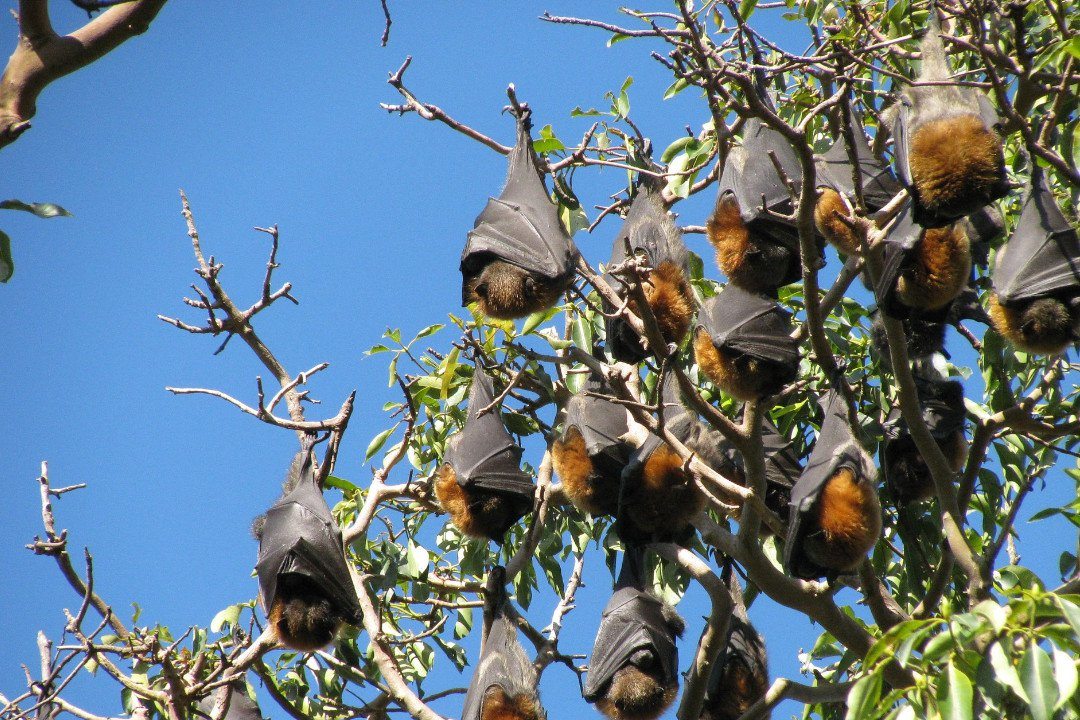 hanging fruit bats.whileinafrica