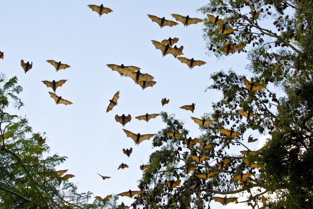 migrating bats.whileinafrica