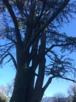 Cedar of Lebanon1, Evian, France