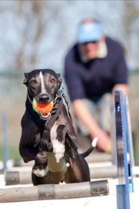 Whippet running with ball