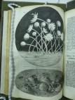 hooke-micrographia-3