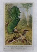 Yellow-Bellied Emerald Cuckoo Card 2