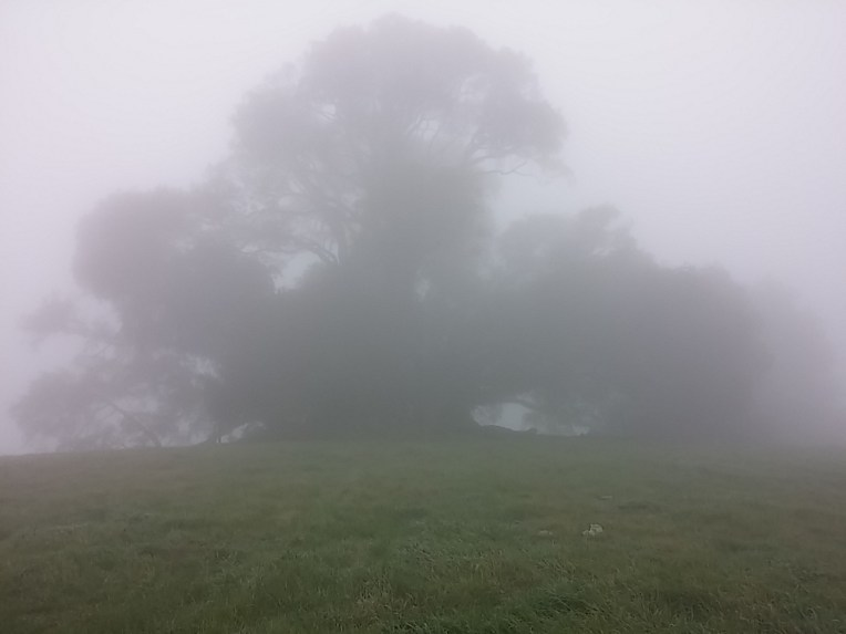 Umbrella Tree at No. Sonoma Mountain Regional Park- on a very foggy morning