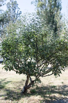 gravenstein apple tree | whiskandmuddler.com