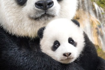 Watch Disneynature Born in China Opening on Earth Day & Make a Difference! #DisneySMMC