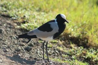 Bird whose legs morph