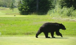 Whistler Golf Course Bear Photo by Dennis Begin