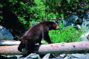whistler bears tips