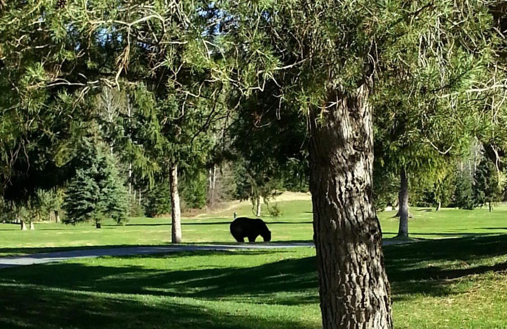 A bear on the Whistler Golf Course | How to stay bear aware in Whistler