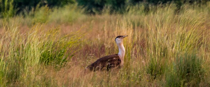 Bird-watching trip to Solapur grasslands