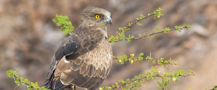 the Majestic Short-toed Snake Eagle
