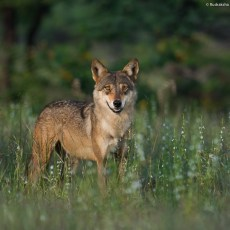 the royal Indian Wolf..!
