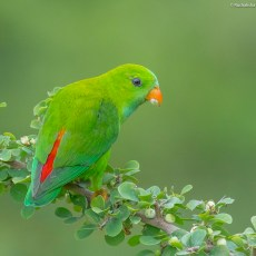 little beauty – Vernal hanging parrot
